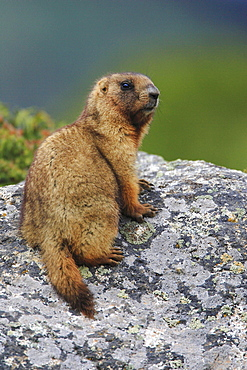 Long-tailed Marmot, Tien-Shan-Mountains, Kazakhstan / (Marmota caudata)
