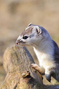 Ermine, change of coat / (Mustela erminea) / Stoat