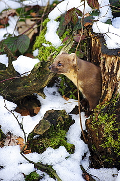 Pine Marten, looking out of tree stump / (Martes martes)