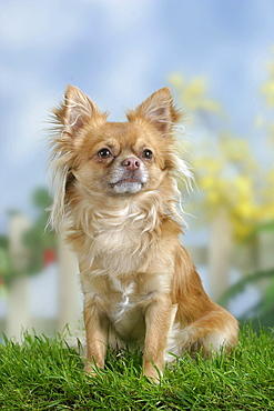 Chihuahua, long-haired