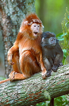 Javan Langur, female with young / (Trachypithecus auratus auratus)