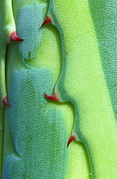 Agave, leaf detail with thorns / (Agave spec.)