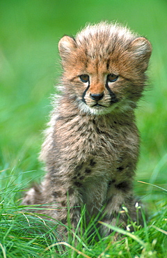 Cheetah, cub, 3 month old / (Acinonyx jubatus)