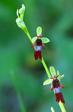Fly Orchid, Provence, Southern France / (Ophrys insectifera)