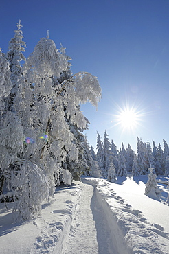 Snow covered trees, Torfhaus, Harz mountains, Lower Saxony, Germany