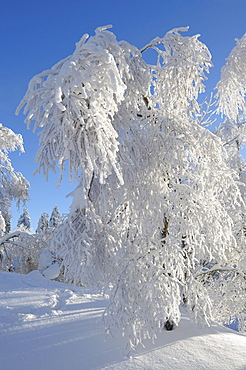 Snow covered trees, Harz mountains, Lower Saxony, Germany