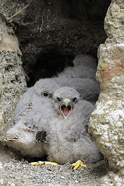 Common Kestrel, chicks in nesting hole / (Falco tinnunculus)