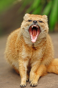 Yellow Mongoose / (Cynictis penicillata)