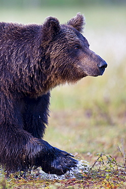 European Brown Bear, Finland / (Ursus arctos)