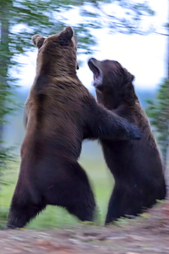 European Brown Bears, Finland / (Ursus arctos)