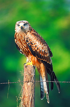 Red Kite, Hessen, Germany / (Milvus milvus)
