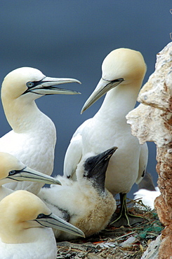 Northern Gannets and chick, Heligoland, Schleswig-Holstein, Germany / (Morus bassanus, Sula bassana)