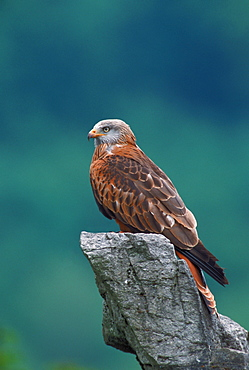 Red Kite / (Milvus milvus)