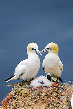Northern Gannets with chick, Heligoland, Schleswig-Holstein, Germany / (Morus bassanus, Sula bassana)