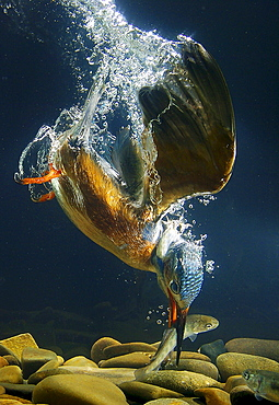 River Kingfisher diving, Hessen, Germany / (Alcedo atthis)