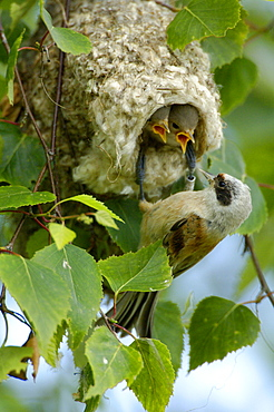 Penduline Tit feeding youngs at nest, Hessen, Germany / (Remiz pendulinus)