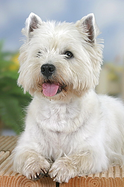 West Highland White Terrier / Westie