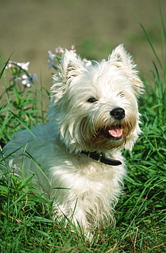 West Highland White Terrier / Westie, collar