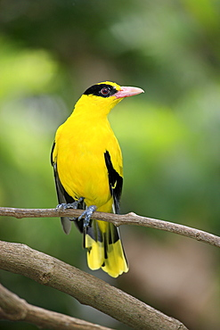 Black-Naped Oriole, adult on branch, East Asia, Asia / (Oriolus chinensis)
