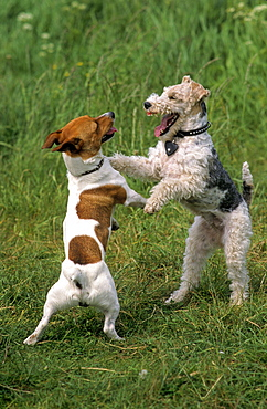 Jack Russell Terrier and Wire Fox Terrier