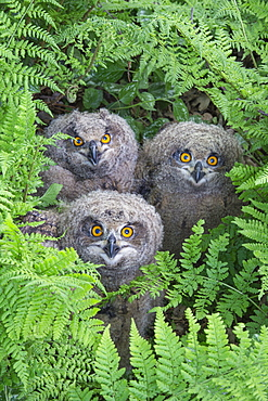 Eurasian Eagle-Owls, fledgelings, Lower Saxony, Germany / (Bubo bubo)