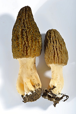 Black morel / (Morchella conica)