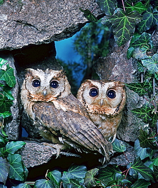 Collared Scops Owls / (Otus bakkamoena)