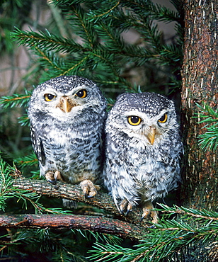 Spotted Owlets / (Athene brama) / Spotted Little Owl