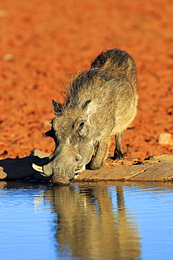 Warthog, adult at waterhole drinking, Tswalu Game Reserve, Kalahari, Northern Cape, South Africa, Africa / (Phacochoerus aethiopicus)