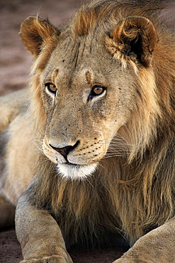Lion, male five years old alert portrait, Tswalu Game Reserve, Kalahari, Northern Cape, South Africa, Africa / (Panthera leo)