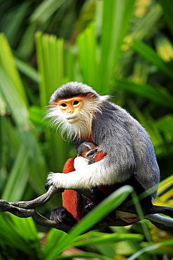 Red-shanked Douc Langur, female with young / (Pygathrix nemaeus)