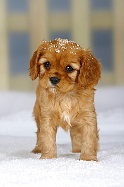 Cavalier King Charles Spaniel, puppy, ruby, 6 weeks