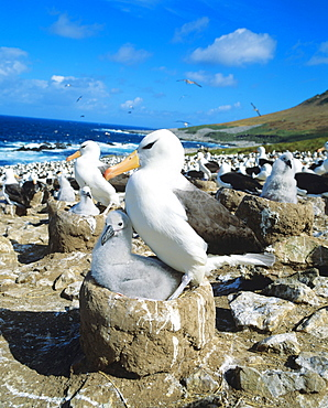 Black-browed Albatross with chick in nest / (Diomedea melanophris, Thalassarche melonophris) / colony