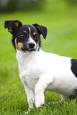 Jack Russell Terrier, puppy, 4 month, tricolor
