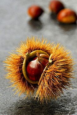 Sweet Chestnut / (Castanea sativa)