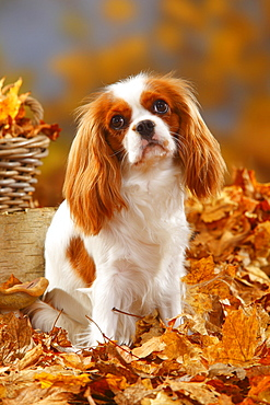 Cavalier King Charles Spaniel, blenheim / autumn foliage