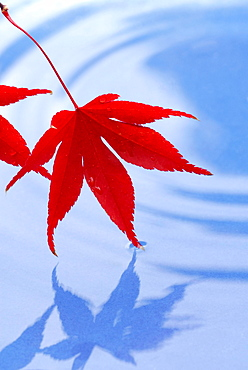 Japanese Maple leaves / (Acer japonicum)