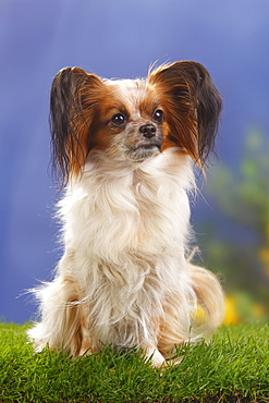 Papillon / Continental Toy Spaniel, Butterfly Dog