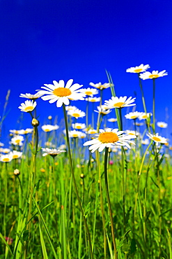 Ox-eye Daisies, Switzerland / (Leucanthemum vulgare, Chrysanthemum leucanthemum)