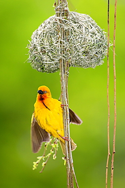 Cape Weaver, male at nest, South Africa / (Textor capensis)