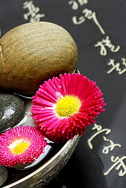 English Daisies, blossoms and stones in bowl, japanese characters / (Bellis perennis)