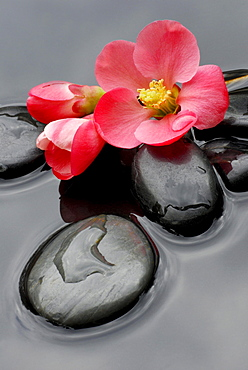 Ornamental Quince, blossoms and stones in water / (Chaenomeles japonica)