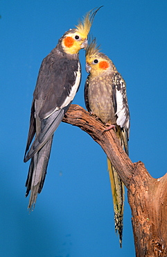 Cockatiels, pair / (Nymphicus hollandicus)