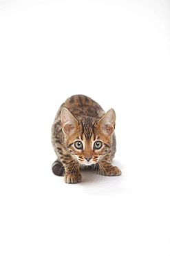 Bengal Cat, kitten, 8 weeks