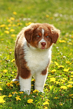 Australian Shepherd, puppy, red-tri, 9 weeks