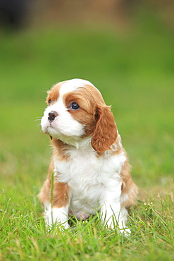 Cavalier King Charles Spaniel, puppy, blenheim, 5 weeks