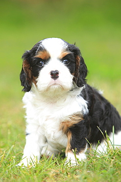 Cavalier King Charles Spaniel, puppy, tricolour, 5 weeks