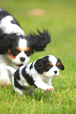 Cavalier King Charles Spaniel, bitch with puppy, tricolour, 5 weeks