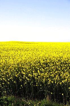 Yellow rapeseed field, East Yorkshire, Yorkshire, England, United Kingdom, Europe