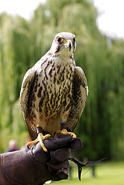 Peregrine Falcon on glove, Sutton-on-the-Forest, York, North Yorkshire, Yorkshire, England, United Kingdom, Europe